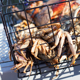California Crab Season: How To Catch Your Own Dungeness Crab