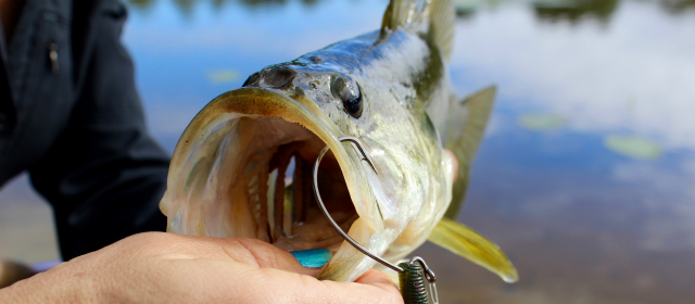 largemouth-bass-worm640x280_body.jpg