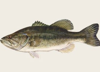 2-Largemouth-bass.jpg