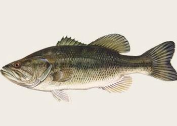 2-Largemouth-bass.jpg